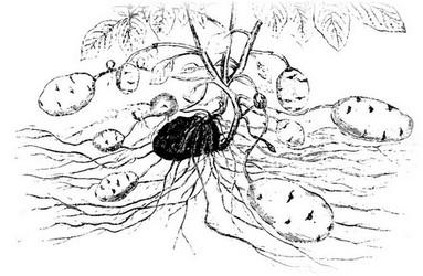Строение картофеля корня клубня стебля и листьев