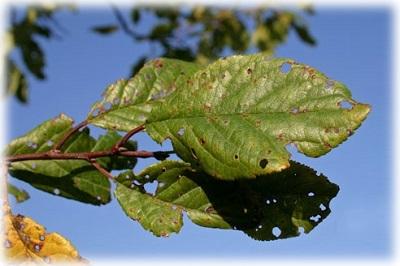 Каким купоросом опрыскивают деревья осенью