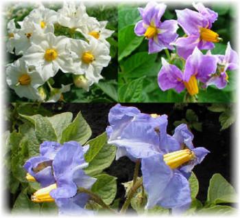 Клубень картофеля: как выглядят стебли и листья растения, описание