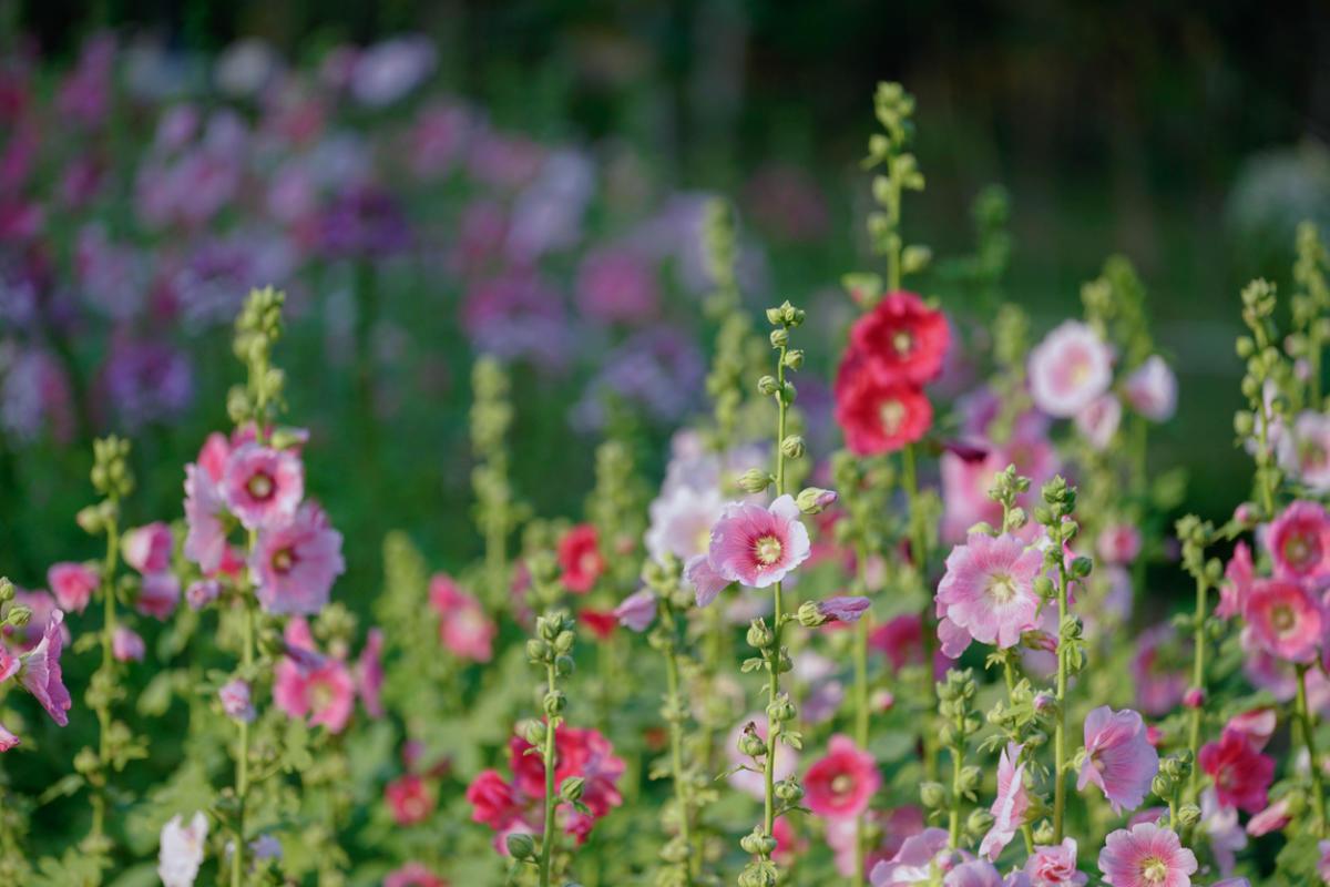 Ποια πολυετή φυτά ανθίζουν τον Ιούλιο του Αυγούστου. Λουλούδια που ...